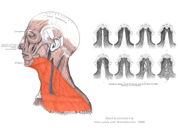 neck anatomy - illustration